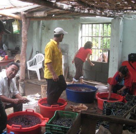 A la izquierda, agricultor Manuel Boluarte durante pisa de uva en su chacra casmeña.